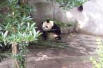 Panda Breeding Research Base, Chengdu